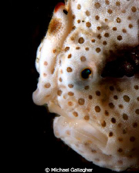 Juvenile clown frogfish portrait, Milne Bay, PNG by Michael Gallagher 